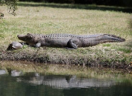 Крокодилы дружат с черепахами?