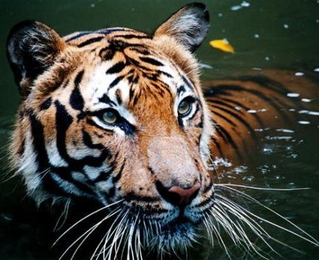 50 интересных фактов о тиграх