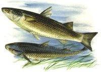 Marea Neagră poate să rămână fără peşte