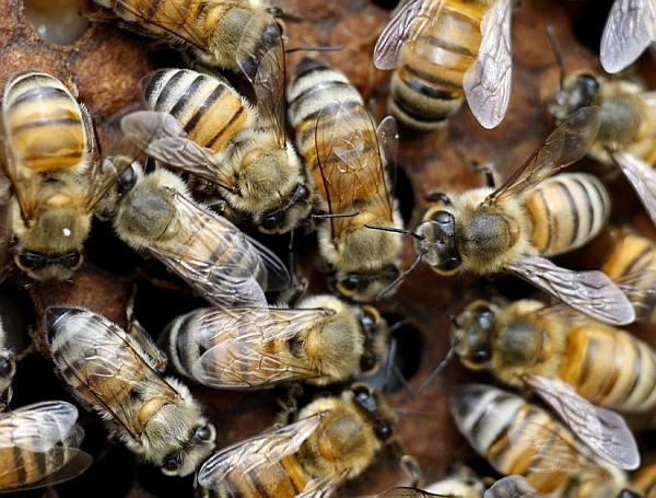 ONU îngrijorată din cauza dispariţiei albinelor