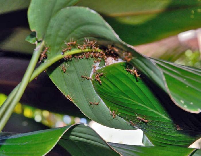 Capacitatea de plutire a furnicilor de foc va ajuta la crearea materialelor impermeabile noi şi îmbunătăţirea tehnicii de lucru