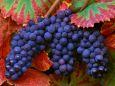 Молдавский виноград – самый полезный!