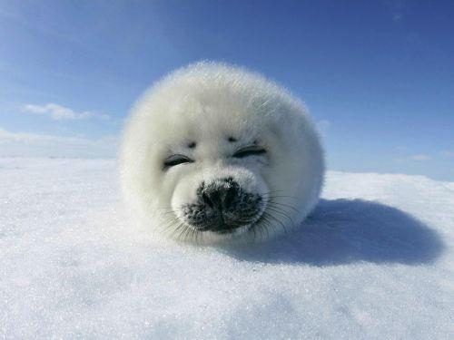 Vînătoarea comercială de foci e pe sfîrşite
