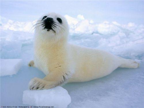 Тюлений промысел доживает свой век