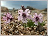 Oamenii de ştiinţă ruşi au crescut seminţe de o vîrstă de 30 de mii de ani