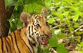 Гиббон и тигры (Видео)