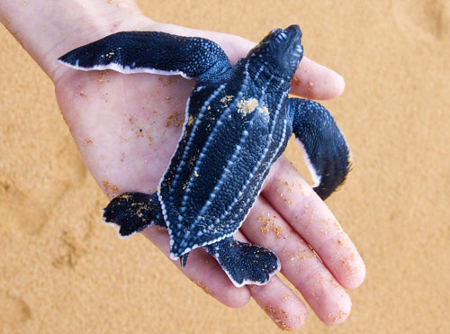 În Statele Unite a apărut o rezervaţie naturală pentru broaştele ţestoase gigantice