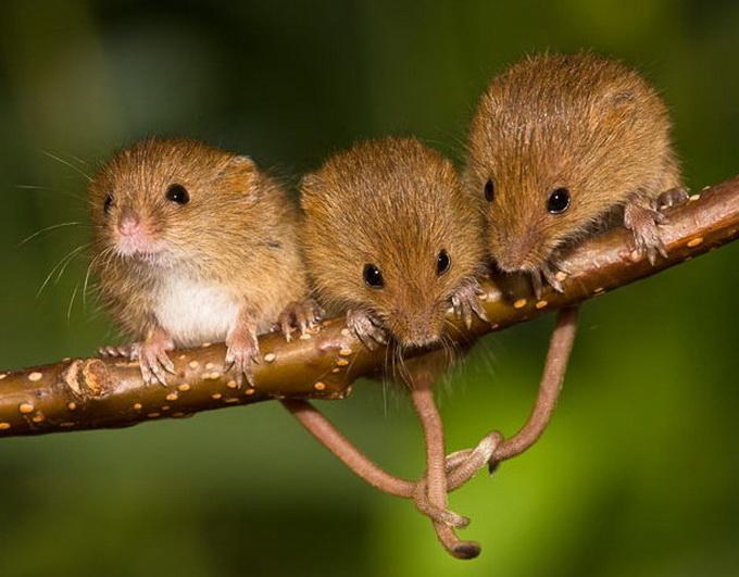 Тайная жизнь полевой мыши (Фото)