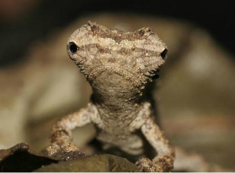 Zoologii au descoperit noi specii de reptile mici