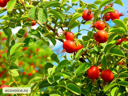 Шиповник — лучшее натуральное лекарство