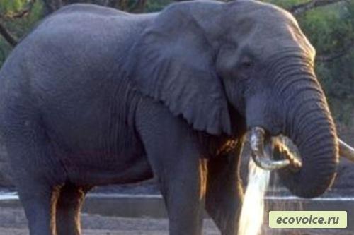 Всемирный день защиты слонов - 20 июня