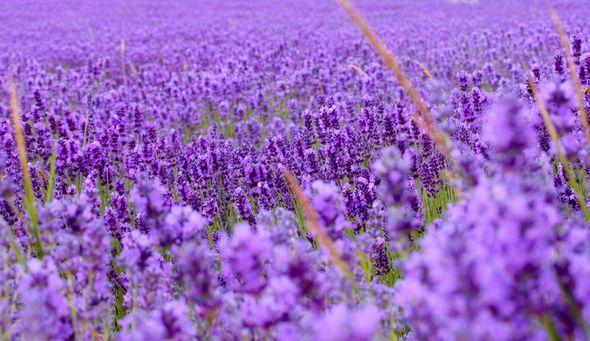 Красивые лавандовые поля в Провансе (Фото)