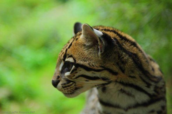 Оцелот - фотографии маленького леопарда (Фото)