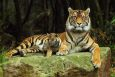 Тигры-тройняшки в зоопарке Таронга