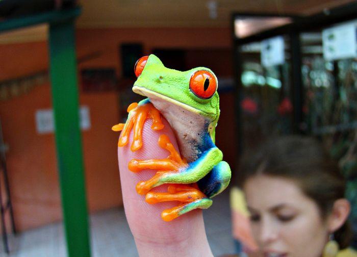 Красноглазая квакша – абсолютно мультяшная лягушка