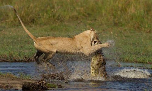 Львица борется с крокодилом чтобы спасти своих детёнышей (Фото)