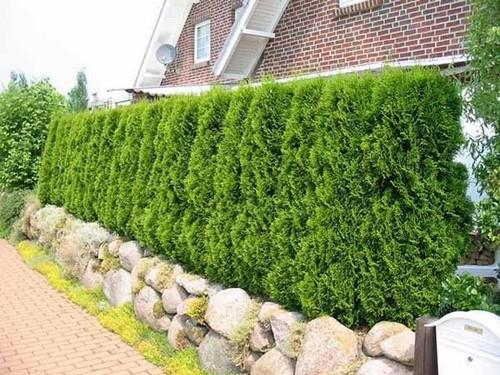 Живая изгородь – создаем зеленый забор на даче