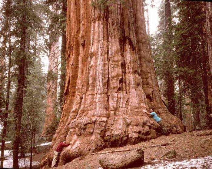 Самые высокие деревья в мире растут в США