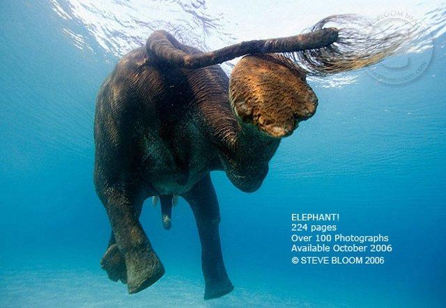 Слоны. Фотограф Стив Блум (10 фото)