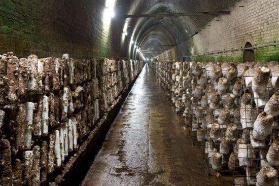 Под Лондоном появится грибная ферма