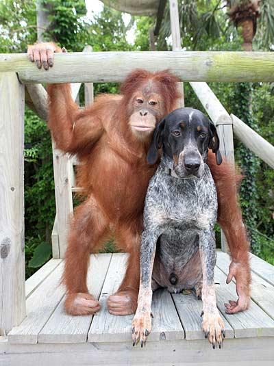 Друзья: орангутан и собака (Фото)