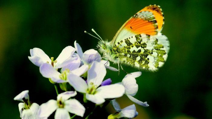 На лугах Европы исчезло 50% бабочек
