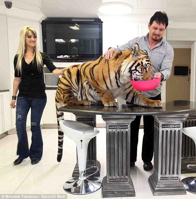 Домашний тигренок Enzo (Фото)