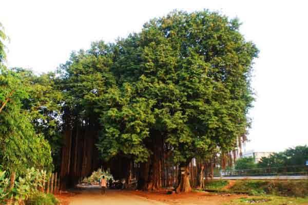 Великий баньян или бенгальский фикус