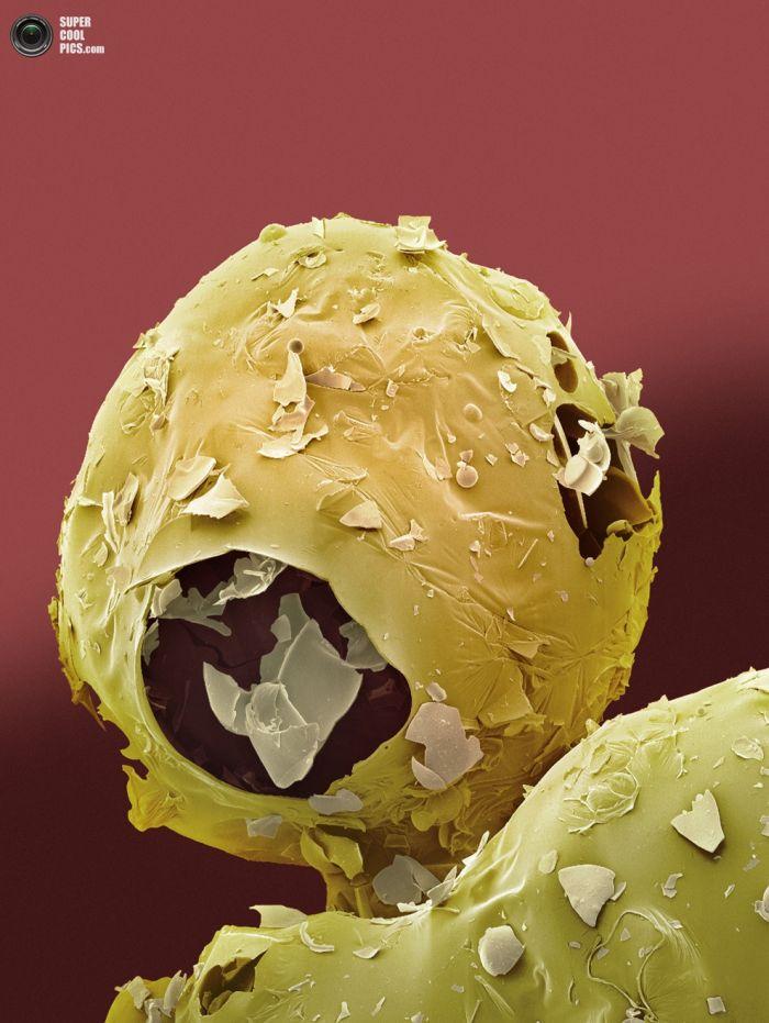Еда под микроскопом (25 фото)