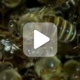 Биология пчелиной семьи (Видео)