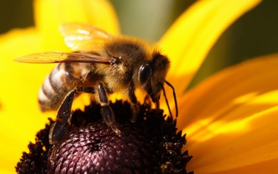 Дрессированные пчелы находят взрывчатку