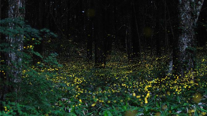 Светлячки в лесу (Фото)