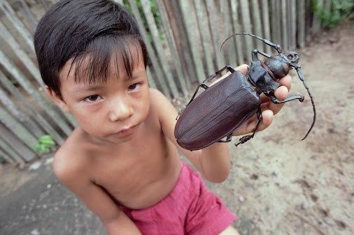 Гигантский жук дровосек-титан