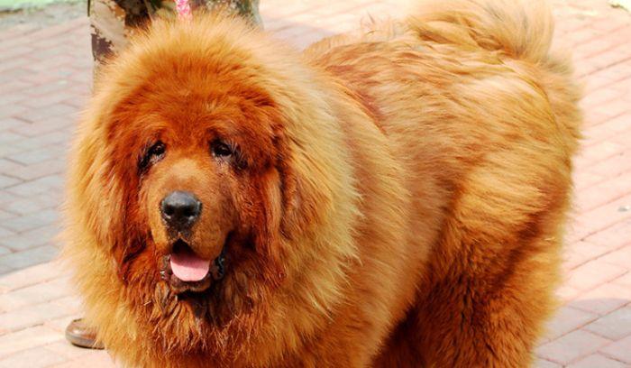 В зоопарке Китая собаку выдавали за льва