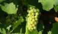 Во Франции виноделу грозит тюремный срок за отказ от применения пестицидов