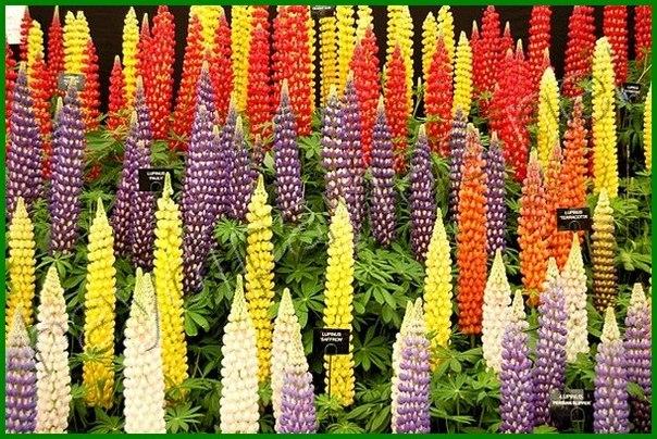 Сегодня я расскажу про многолетние цветочки люпины