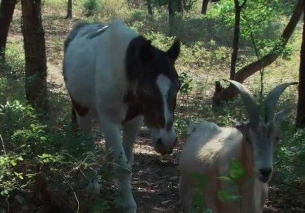 Козел 16 лет заботился о слепой лошади