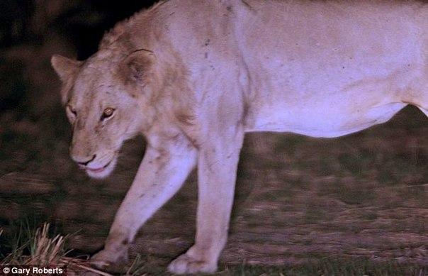 Лев попал в капкан