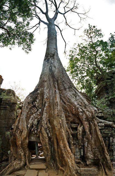 Величественные деревья Ангкор