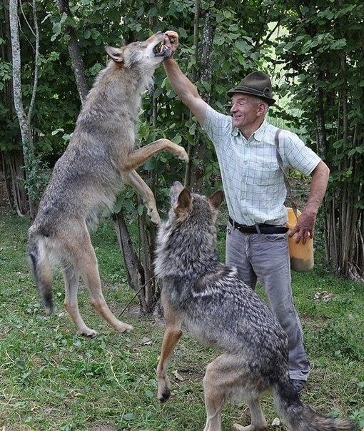 стая волков в качестве домашних животных