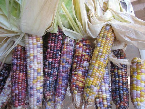 Первородная кукуруза