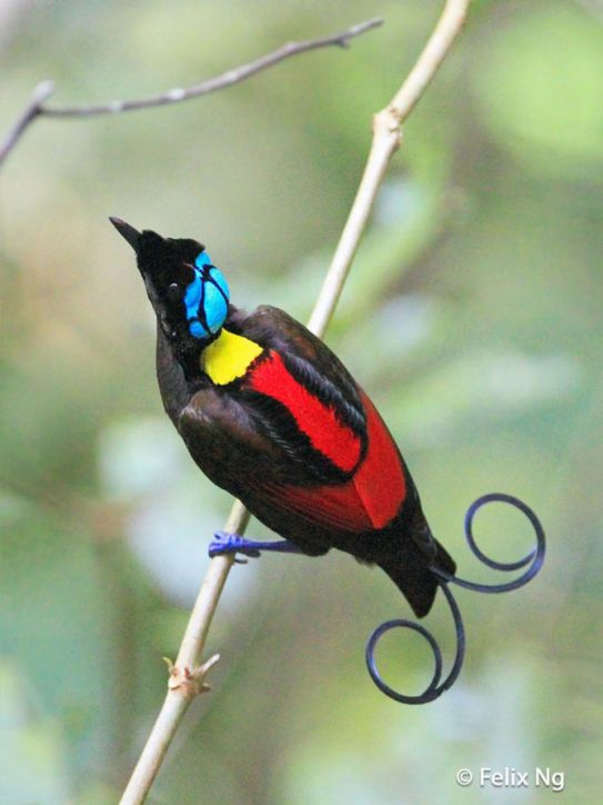 Синеголовая великолепная райская птица (Cicinnurus respublica)