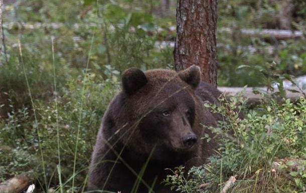 Urșii bruni se reîntorc la Cernobîl după 100 de ani