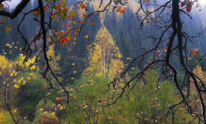 первозданные яблони сохранились в горах Казахстана