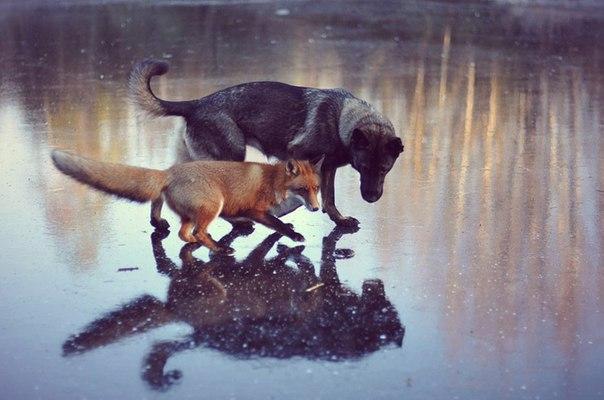 În Norvegia vulpoiul sălbatic s-a împrietenit cu un câine (+Foto)