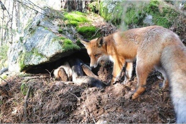 дикий лис подружился с собакой