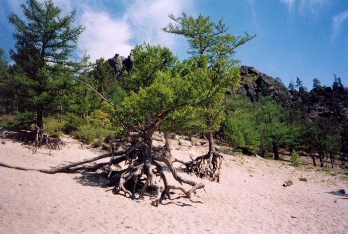 деревья Байкала
