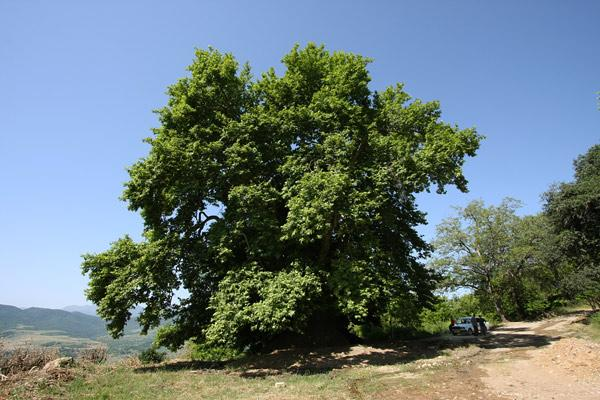 древние деревья