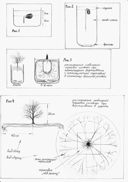 выращивание кедров