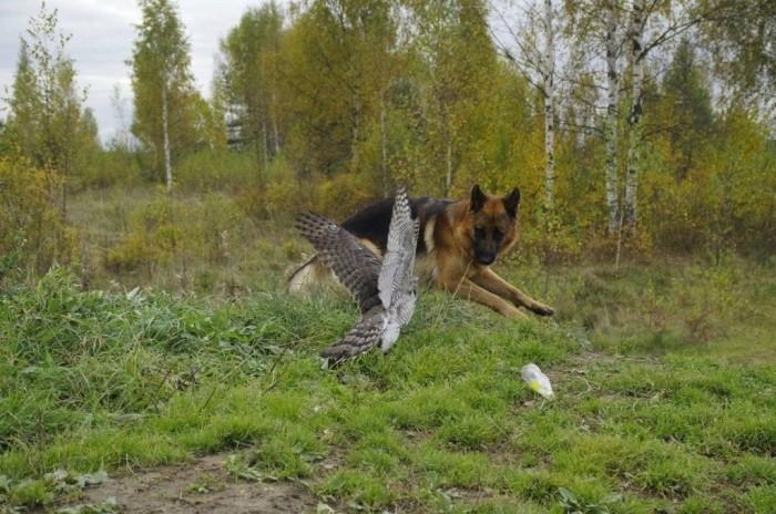 Необычная дружба ястреба и овчарки